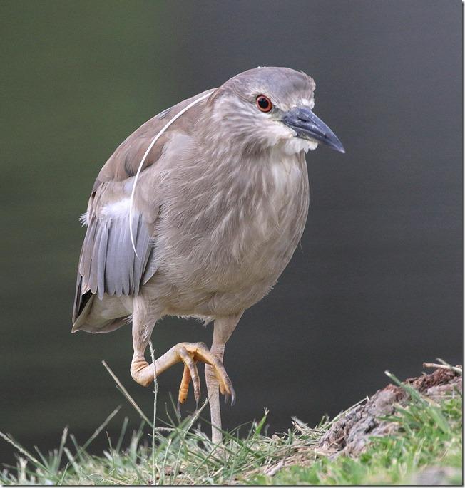 Black Crown Night Heron 1